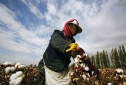 A farmer harvests cotton in China's Xinjiang region in an undated photo